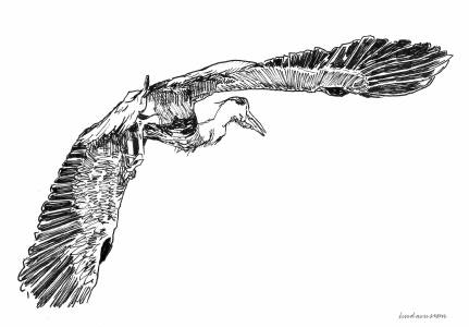 Reiger / Heron